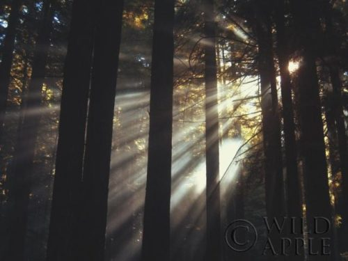 Sunlight Through the Woods II by Laura Marshall